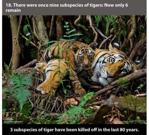 22 Interesting Facts about Tigers (22 photos) 18