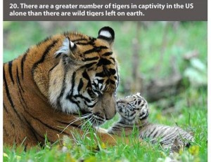 22 Interesting Facts about Tigers (22 photos) 20