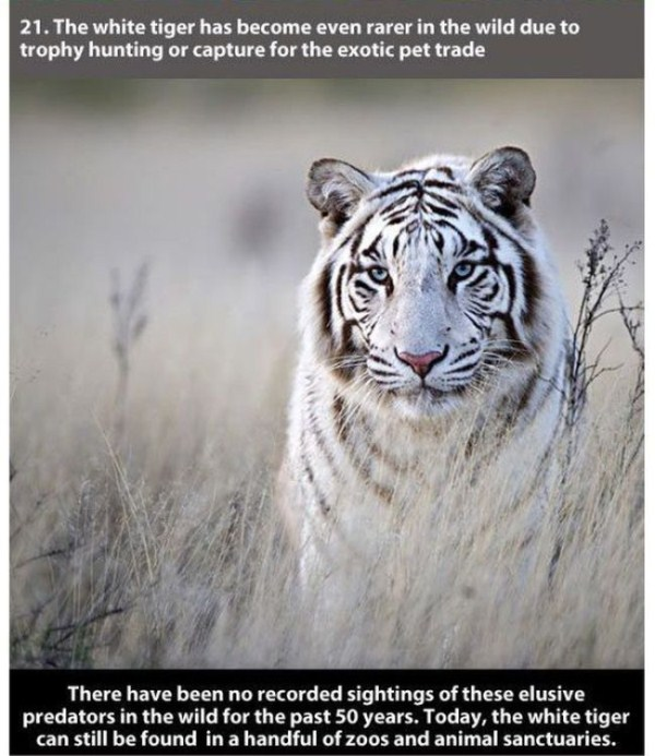 badass_facts_about_tiger_21_1