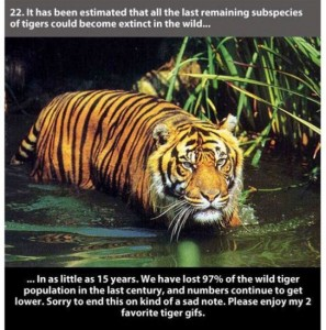 22 Interesting Facts about Tigers (22 photos) 22
