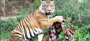 Meet Abdullah Sholeh And His Tiger Mulan (19 photos) 9