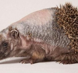 The Hedgehog Without Spikes (12 photos)