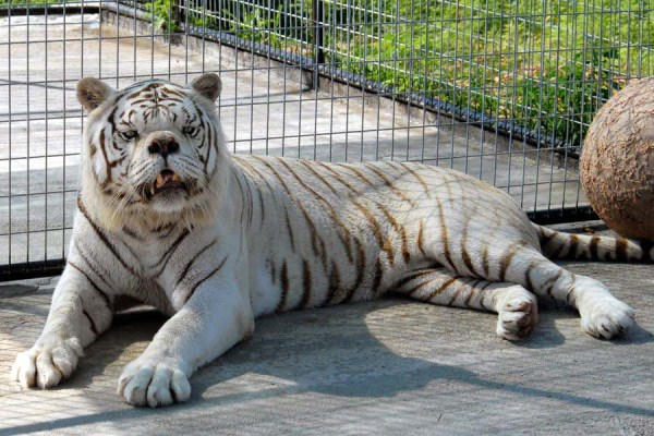 kenny-tiger-with-down-syndrome (3)