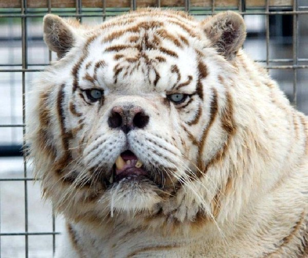 kenny-tiger-with-down-syndrome (4)