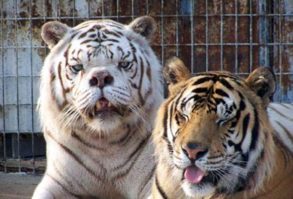 kenny-tiger-with-down-syndrome (6)