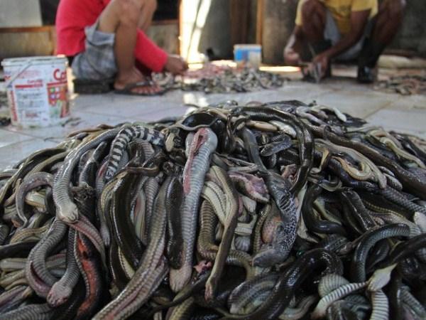 Snakeskin-industry-in-Indonesia (2)