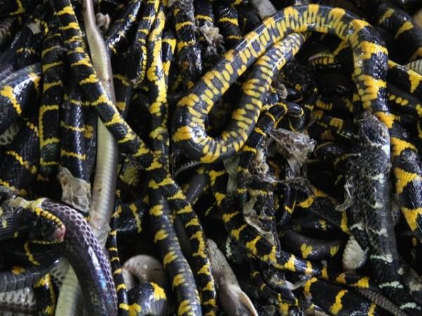 Snakeskin-industry-in-Indonesia (3)