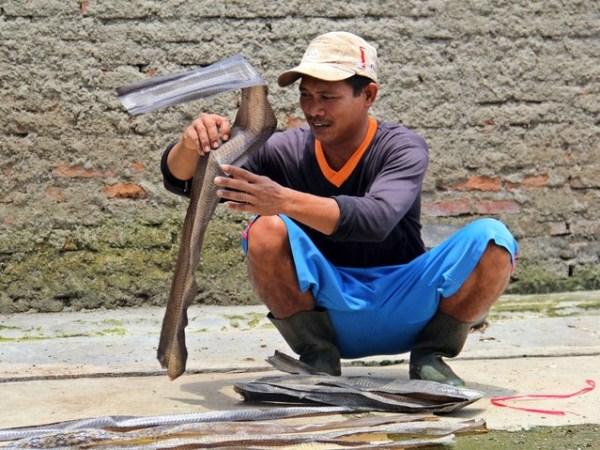 Snakeskin-industry-in-Indonesia (7)