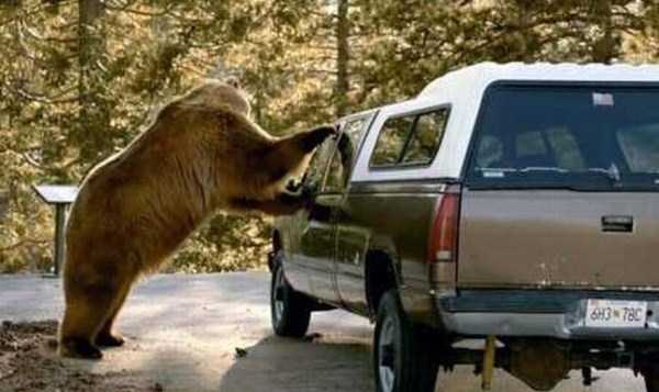 animals-fighting-cars (1)