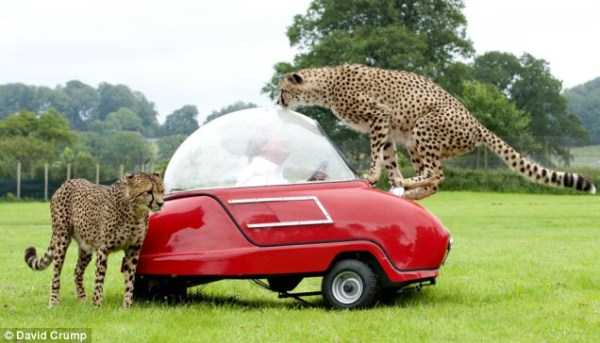 animals-fighting-cars (10)