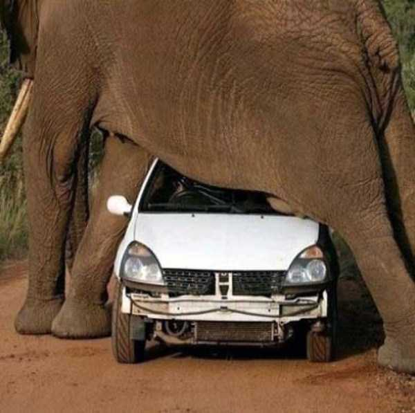 animals-fighting-cars (12)