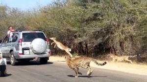 Animals vs Cars (37 photos) 28