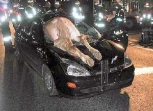 Animals vs Cars (37 photos) 29