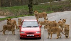 Animals vs Cars (37 photos) 31