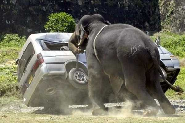 animals-fighting-cars (35)