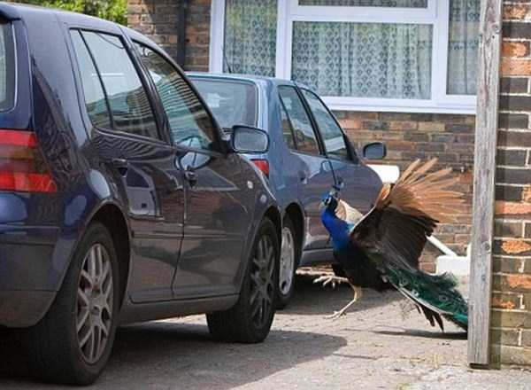 animals-fighting-cars (6)