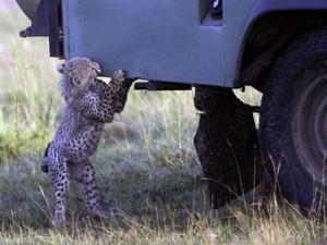 Animals vs Cars (37 photos) 7