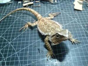 Bearded Dragon Made Entirely of Cardboard (24 photos) 15