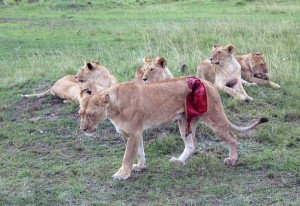 Rescuing a Badly Injured Lioness (9 photos) 1
