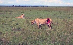 Rescuing a Badly Injured Lioness (9 photos) 2