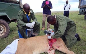 Rescuing a Badly Injured Lioness (9 photos) 4