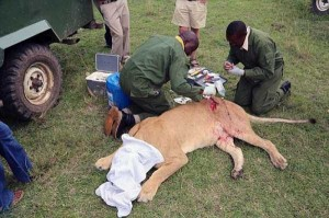 Rescuing a Badly Injured Lioness (9 photos) 6