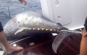 Biggest Bluefin Tuna Ever Caught by a Woman (6 photos) 4