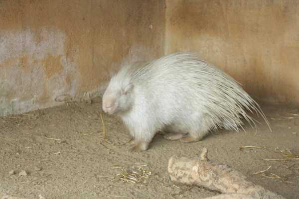 albino-animals (16)