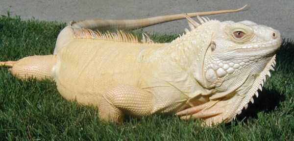 albino-animals (17)