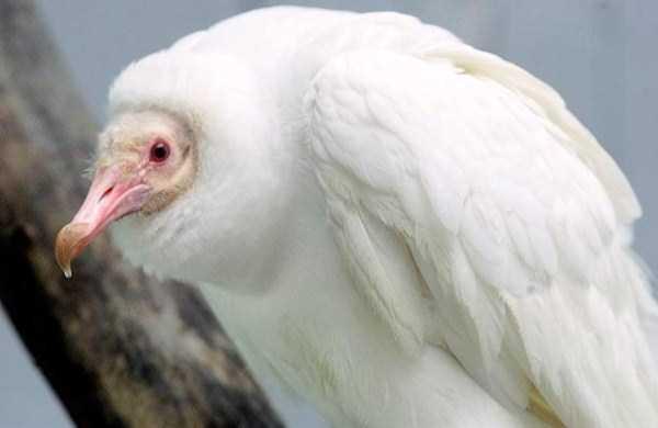 albino-animals (18)