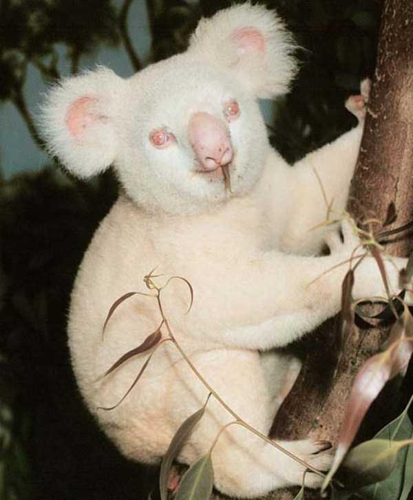 albino-animals (21)