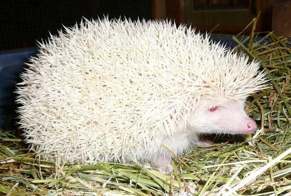 albino-animals (23)