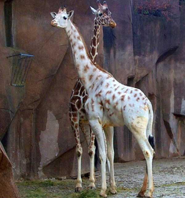albino-animals (37)