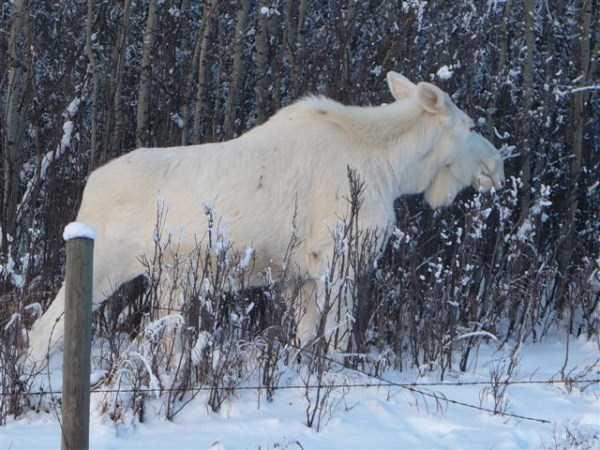 albino-animals (41)