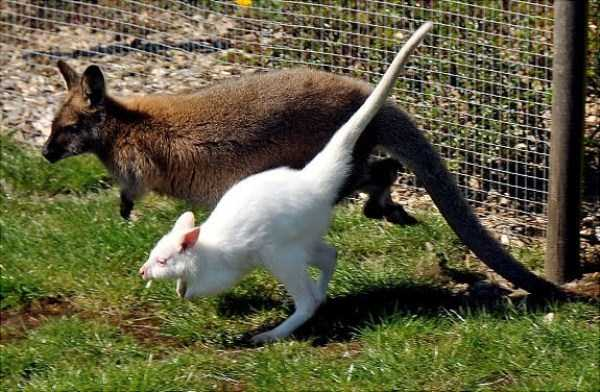 albino-animals (45)