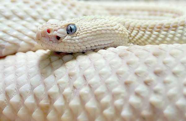 albino-animals (51)