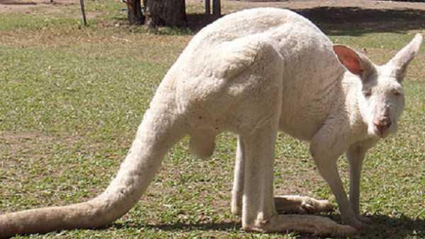 albino-animals (56)