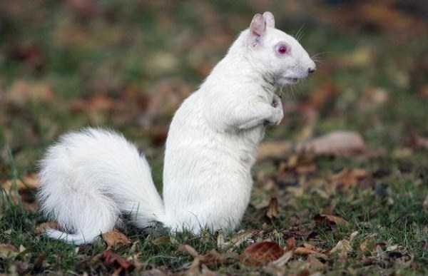 albino-animals (6)