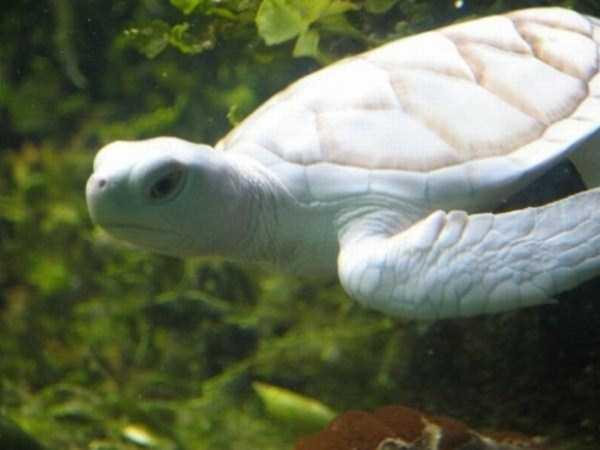 albino-animals (7)