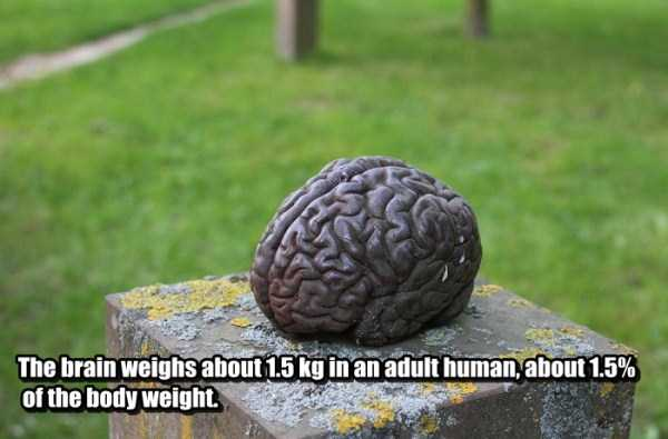 human-brain11