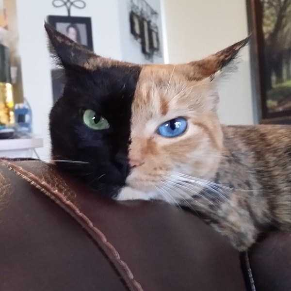venus-chimera-cat (1)