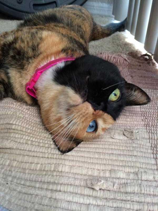venus-chimera-cat (16)