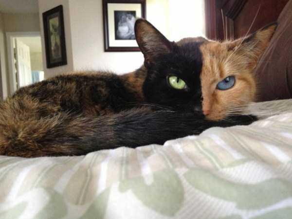 venus-chimera-cat (17)
