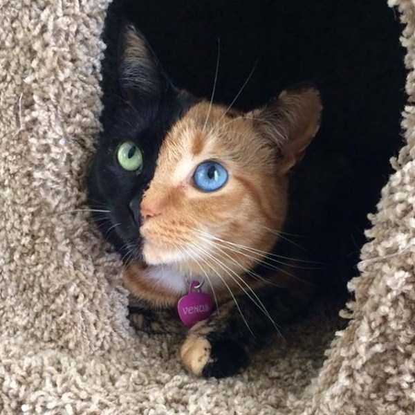 venus-chimera-cat (21)