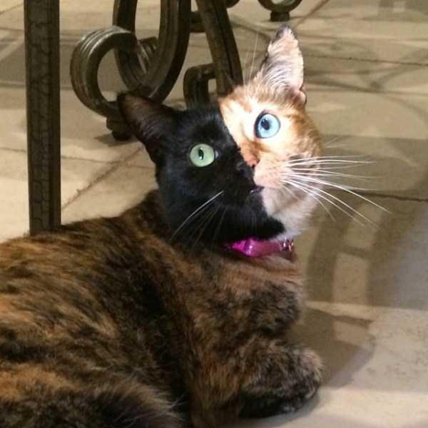venus-chimera-cat (4)