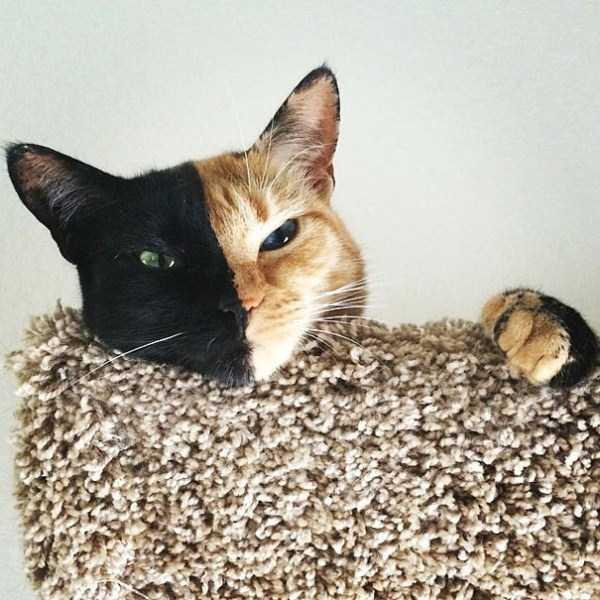 venus-chimera-cat (6)