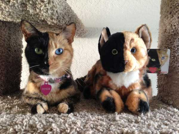 One of a Kind Two-Faced Cat (21 photos) 7