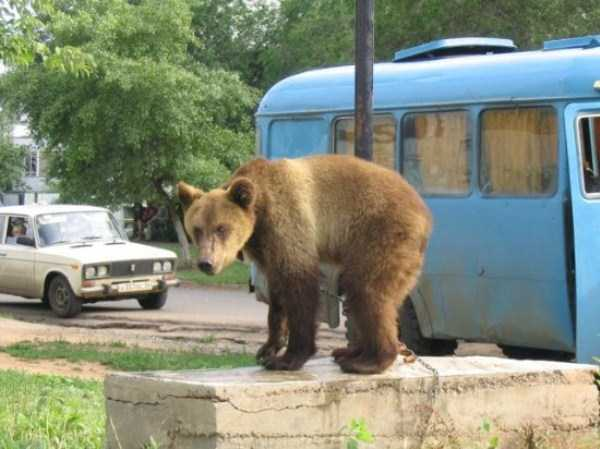 bears-in-russia (1)