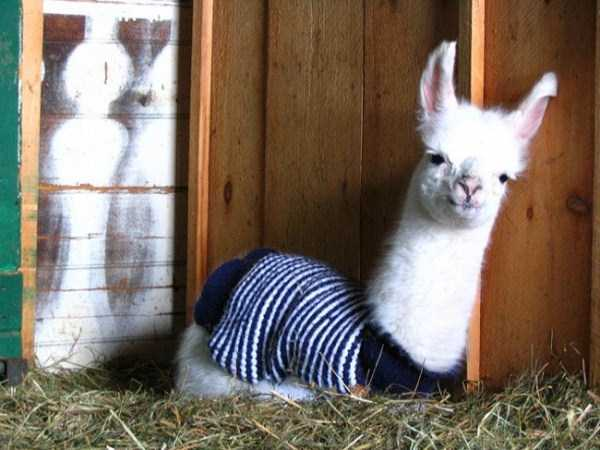 animals-in-sweaters (17)