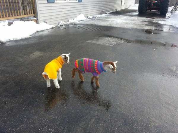animals-in-sweaters (8)